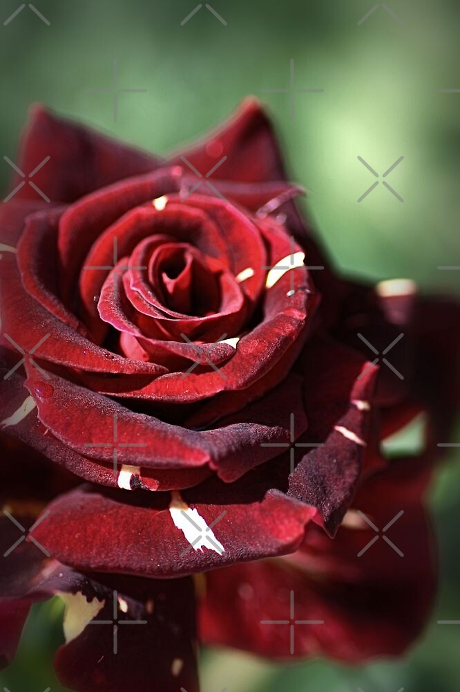 Blood Rose by Joy Watson