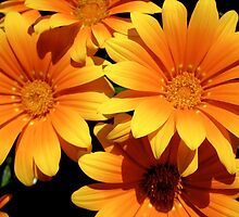 Orange and yellow daisies by Honeyboy Martin