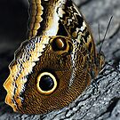 The Owl Butterfly,Caligo sp. by jules572