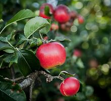 Scrummy Scrumptious Apples by HoneyBee73