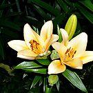 Lilies by Jane Neill-Hancock