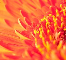 Gerbera Up Close by Peter Whitworth