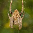 Garden orb weaver - Eriophora sp. by Andrew Trevor-Jones