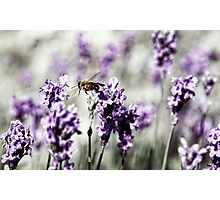 Bee in Lavender Photographic Print