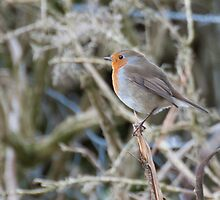 Robin in the garden by elainejhillson