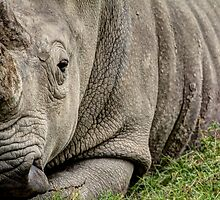 Up close with a Rhino by Melanie Conroy