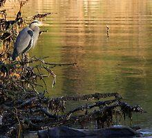 great blue heron by TerrillWelch