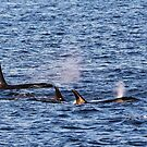 Three Orcas at Georgina Point by TerrillWelch