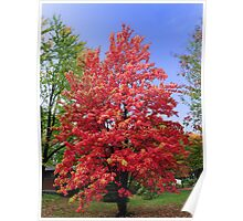 Maple Tree in Autumn Poster