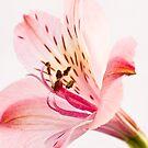 Alstroemeria (Peruvian Lilly) by Neil Clarke