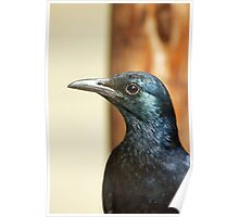 Glossy Starling Poster