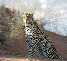 Leopard by jaconm