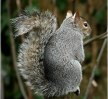 Waiting.....Mr Squirrel by Rivendell7