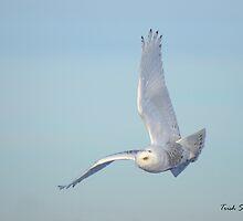 Snowy Owl In Flight by Trish Sweett