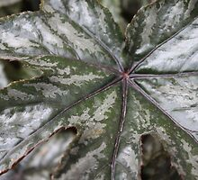 Begonia leaf detail. by Sandra Foster