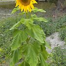 Solo sunflower by AmandaWitt