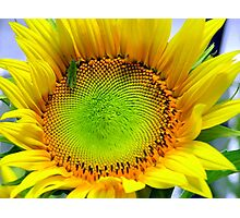 Sunny sunflower with Grasshopper Photographic Print