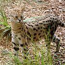 Serval by shoshanah