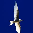 White ( Fairy) Tern by john  Lenagan