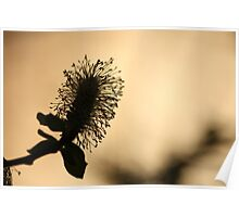 Catkin Silhouette at Sunset Poster