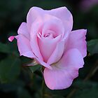 Roses are ... pink by SandycPhotos
