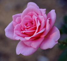Pink rose 2 by SandycPhotos