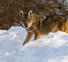 Coyote On The Hunt In The Snow by John Absher