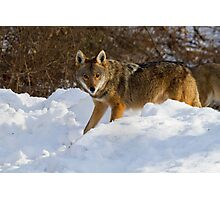 Coyote On The Hunt In The Snow Photographic Print