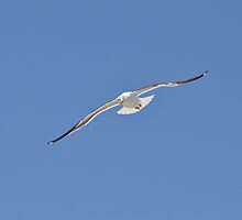 Gull Swoop by Walter Cahn