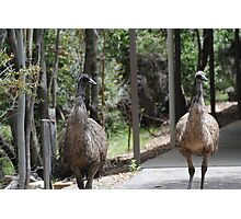 Emus at Tidbinbilla Photographic Print