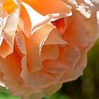 Peachy Rose by Walter Cahn
