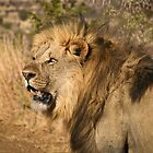 Lion walking in game reserve by Heather  McCann