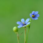 Blue Eyed Grass by TraceyTilsonArt