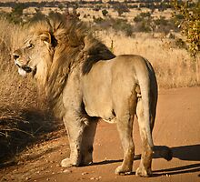 Lion walking on a road in game reserve by Heather  McCann