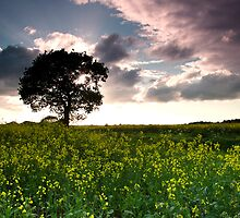 Rape Seed Field by David  Baker