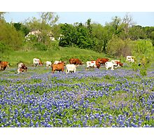 heard of cattle Photographic Print