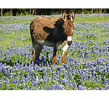 donkey in bluebonnets Photographic Print