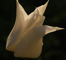White tulip II by Ulla Vaereth
