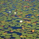 Lilly Pond by DebYoung