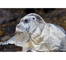 Bearded Seal Photographic Print