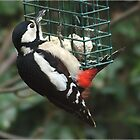 Mrs Hungrylady - Greater Spotted Woodpecker by Rivendell7