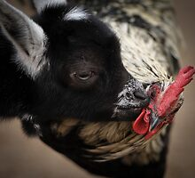 Did You Hear The One About The Goat and The Rooster? by Joe Jennelle