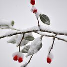 Berries in snow by Robin Nellist