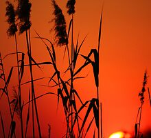 Reeds at Sunset, Botswana by Catherine Breslin