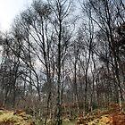 Silver Birch, Dusk, Shire Hill, Glossop by Mark Smitham
