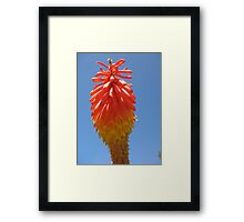 A Red Hot Poker Framed Print