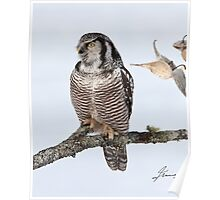 The Pensive Northern Hawk Owl Poster