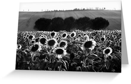Sunflowers by Andrew Bret Wallis
