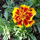 Bright and Cheerful - First French Marigold by MidnightMelody