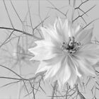 'Love in a mist' by Mike Finley